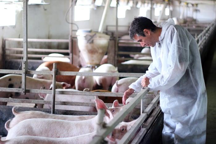 Veterinarian inspecting pigs at a pig farm