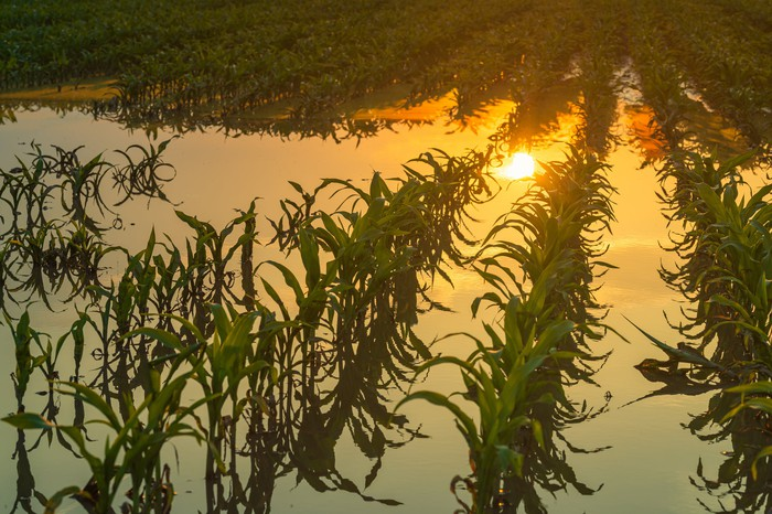 Sun reflected in a flooded cornfield