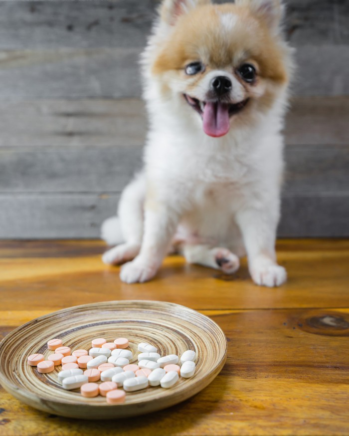 Pomeranian dog with plate of pills in front of him