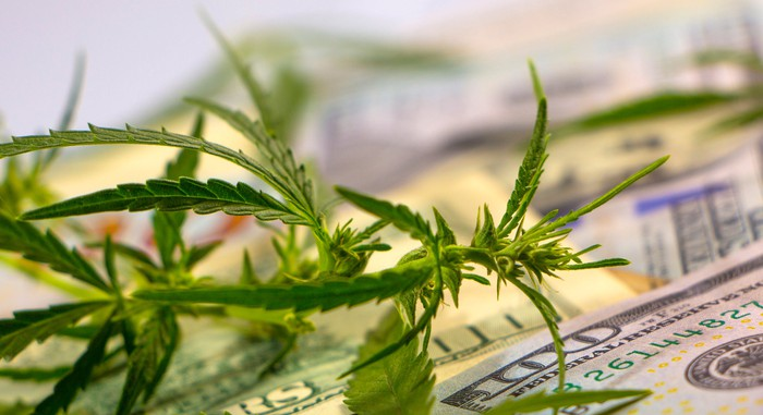 Cannabis plant with $100 bills in background