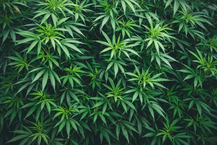 A marijuana bush