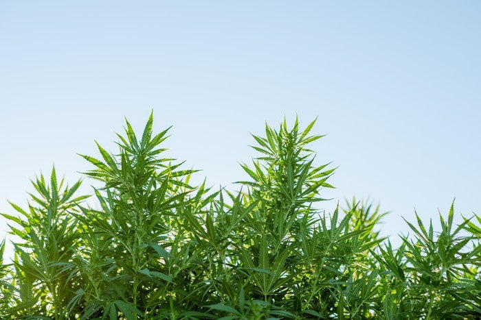 Cannabis plants growing outdoors.