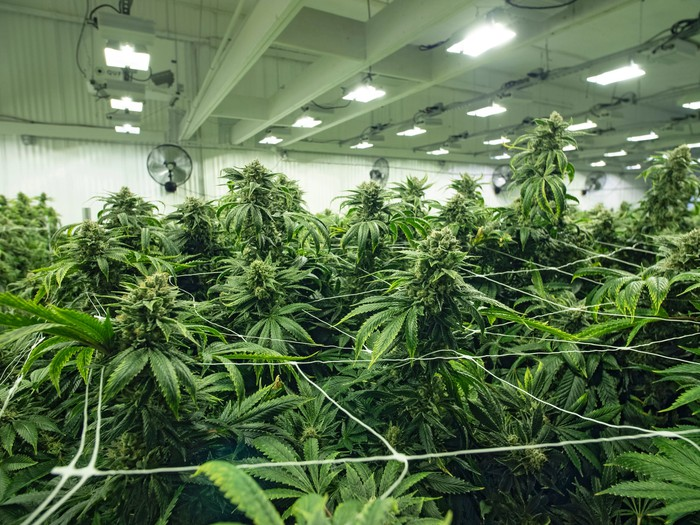 An up-close view of flowering cannabis plants growing in a large indoor farm.