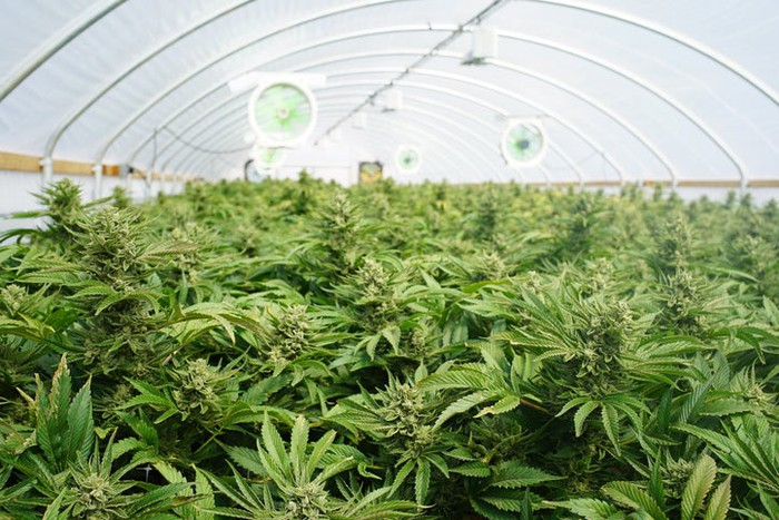 Interior of a cannabis-growing greenhouse showing the building's supporting frame and several fans.