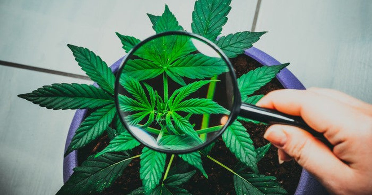 How to Harness Mad Cannabis Growth Without the Risk