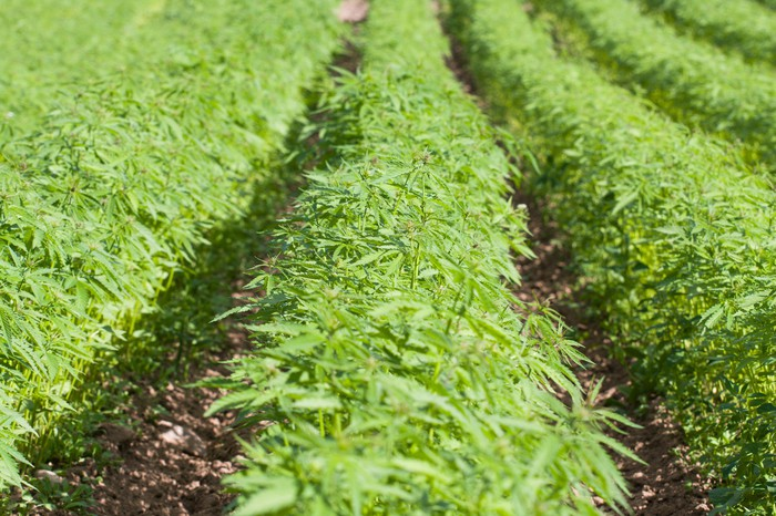 Rows of cannabis in an outdoor field