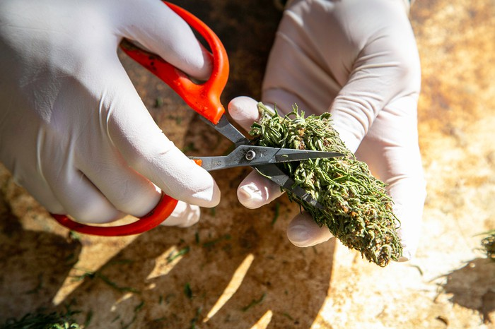 Gloved hand cutting a cannabis bud with a pair of orange scissors.