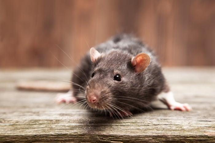 A close-up of a rat