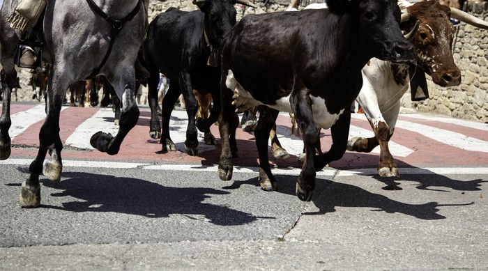 Bulls on the run in the street