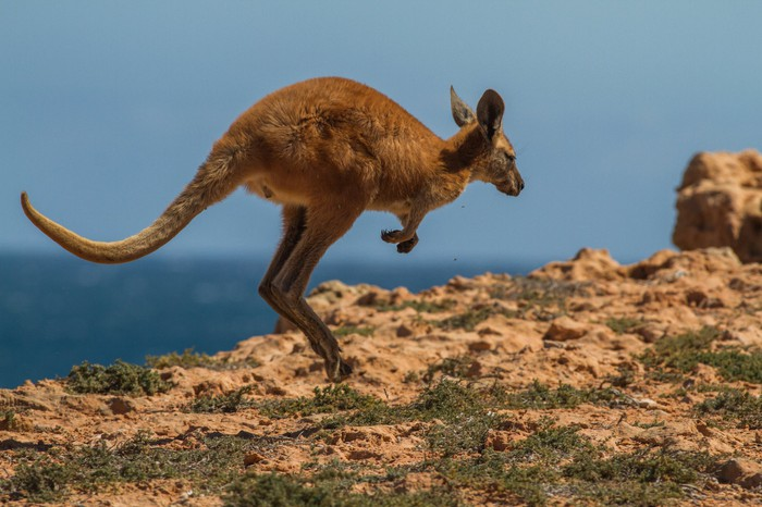 A kangaroo hopping near the sea.