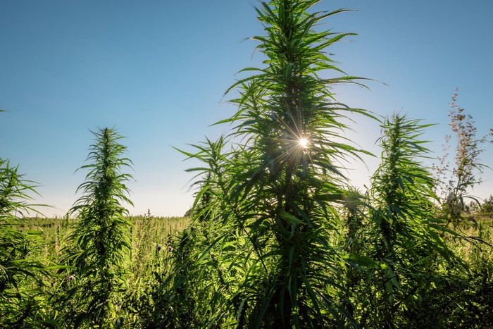 An outdoor hemp grow farm, with a hemp plant in the foreground mostly blocking out the sun.