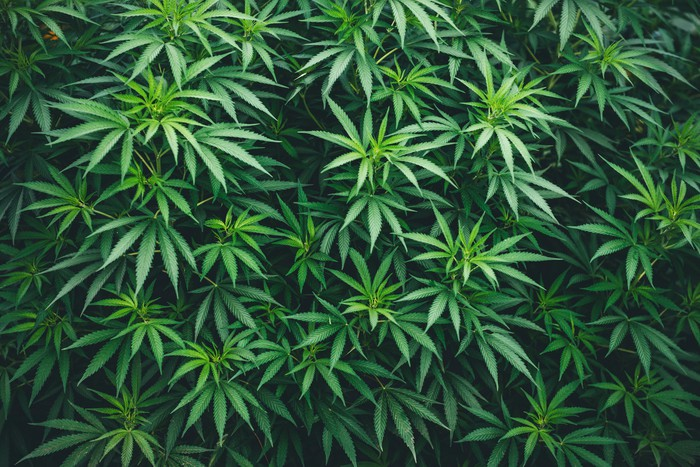 A cluster of cannabis plants.