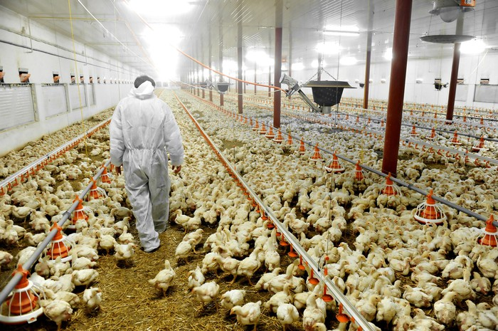 Thousands of chickens in a poultry plant as a worker walks by.