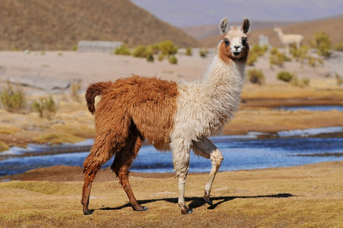 A half brown, half white llama, standing in front of a body of water.