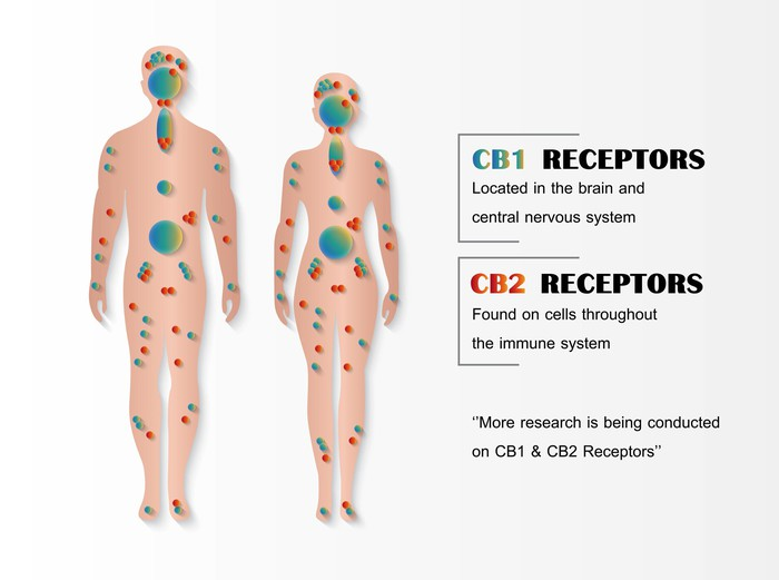 CB1 and CB2 Receptors role in body