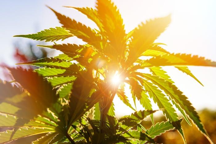 Marijuana plant with sun shining behind it
