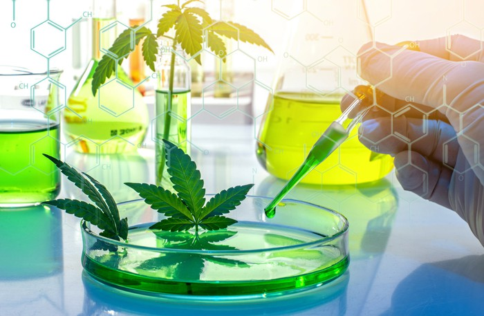 Marijuana leaves being experimented on in a lab.