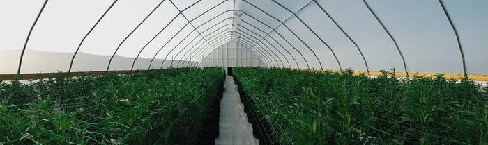 A cannabis greenhouse