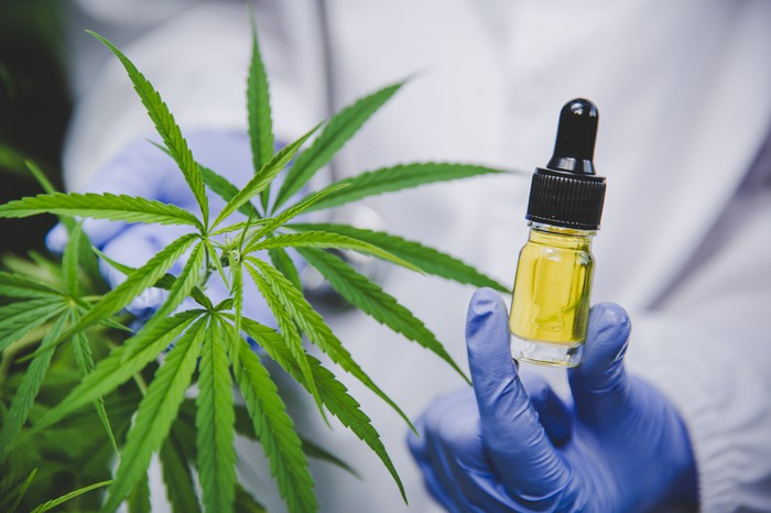Person in white coat wearing blue gloves holding a bottle of CBD oil next to a cannabis plant.