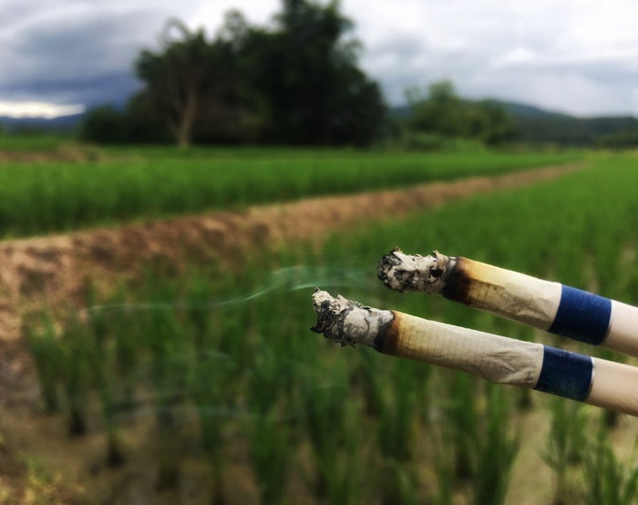 Two marijuana cigarettes in front of a cannabis field