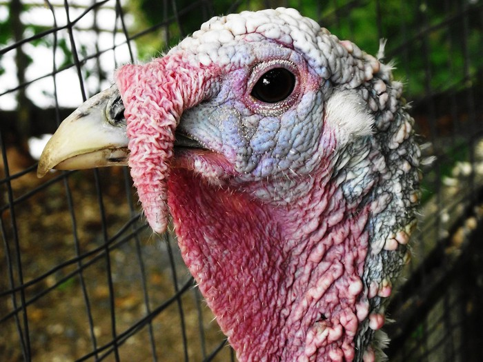 An up-close view of a turkey's face.