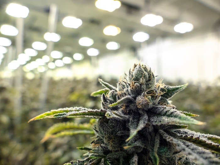 An up-close view of a flowering cannabis plant growing in a large commercial indoor farm.