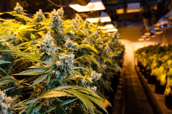 Rows of marijuana plants in an indoor grow facility.