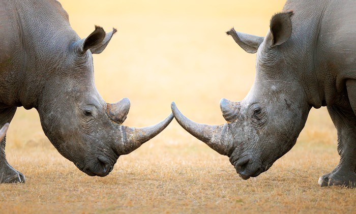 Two rhinoceroses staring at each other, horn to horn