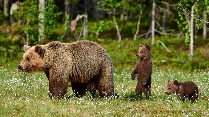 A brown bear with two cubs.