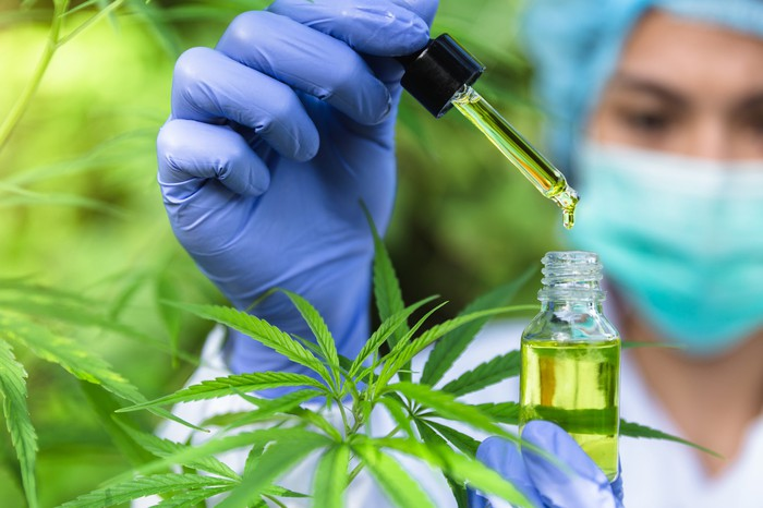 Scientist putting drops of oil in a bottle next to marijuana plants.
