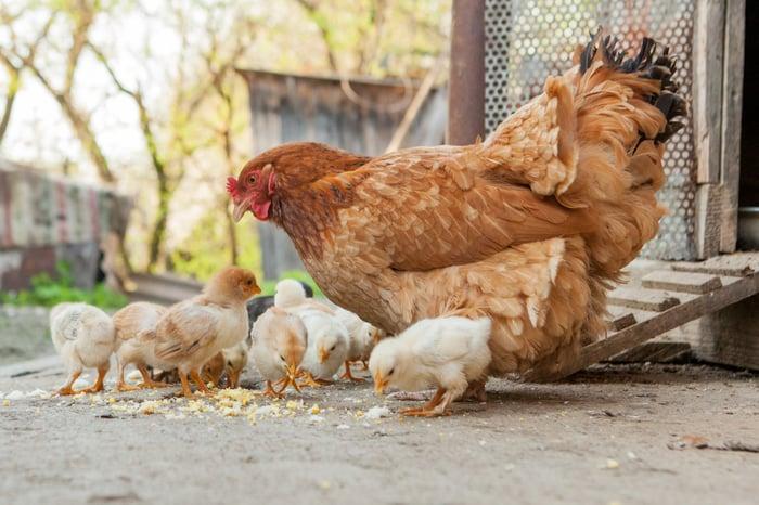 Chicken Alongside Chicks