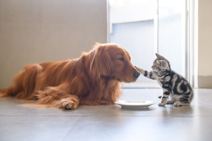 A kitten and golden retriever play as they wait to be fed.