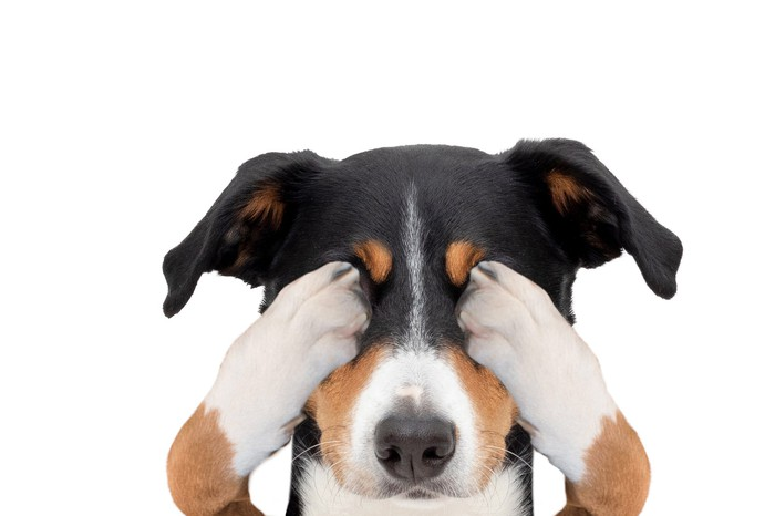 A dog covering its eyes with its paws
