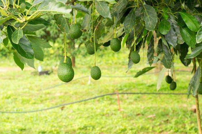 Ripe avocados in a green grove