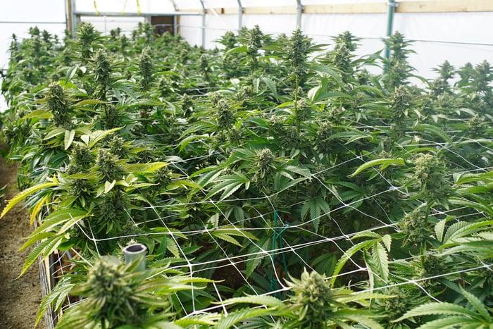 An indoor marijuana growing facility full of plants