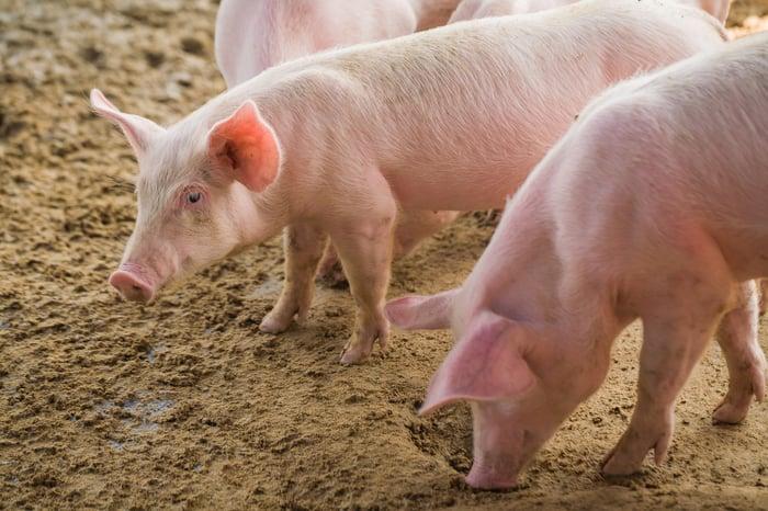Pigs rooting in dirt