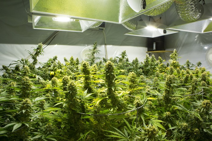 Flowering plants in an indoor cultivation room with special lighting and large vents.