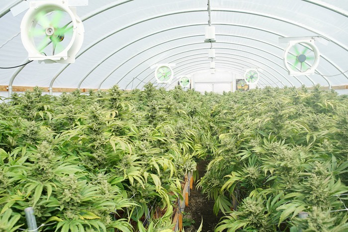 Flowering cannabis plants growing inside a hybrid greenhouse with fans.