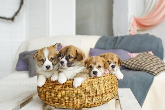 A basket with puppies in it.