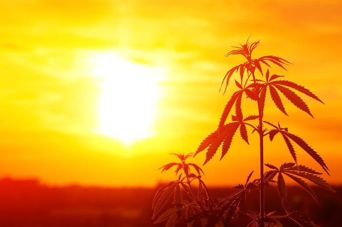 Silhouette of a cannabis plant with the sun in the background.