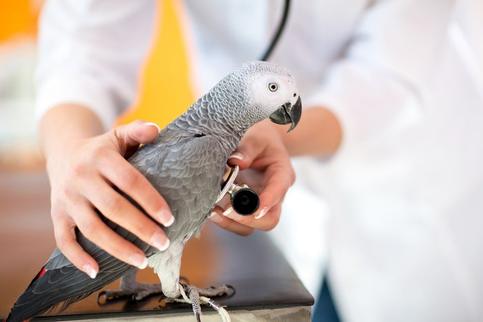 Doctor holding a stethoscope to a parrot's chest