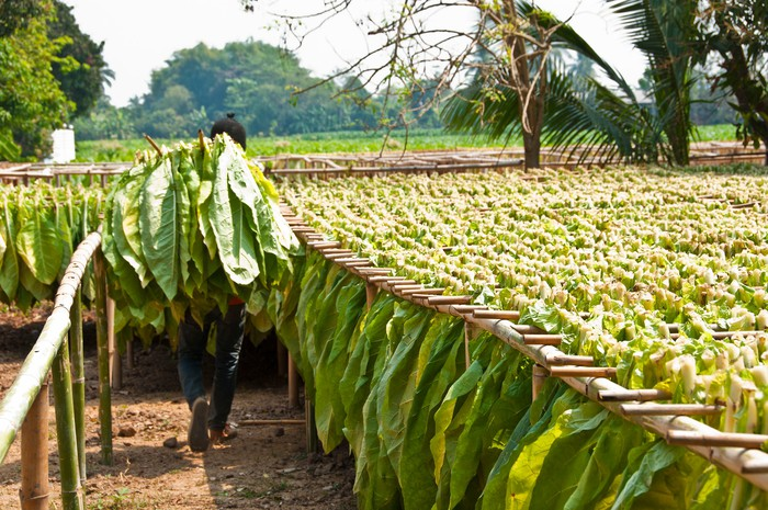 Worker drying tobacco leaves