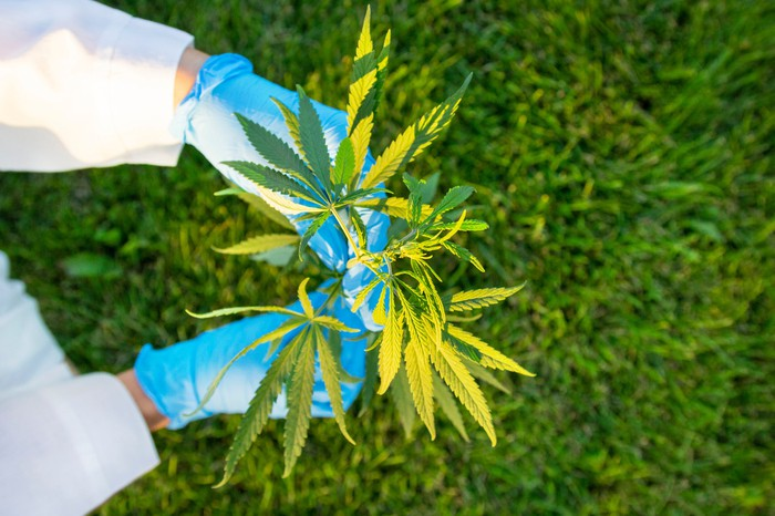 Hands in surgical gloves holding cannabis plants.