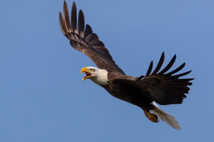 A bald eagle flying.