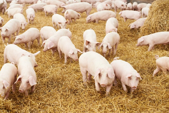 A herd of pigs.
