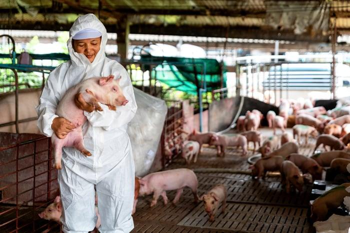 Veterinarian inspecting farm pigs.