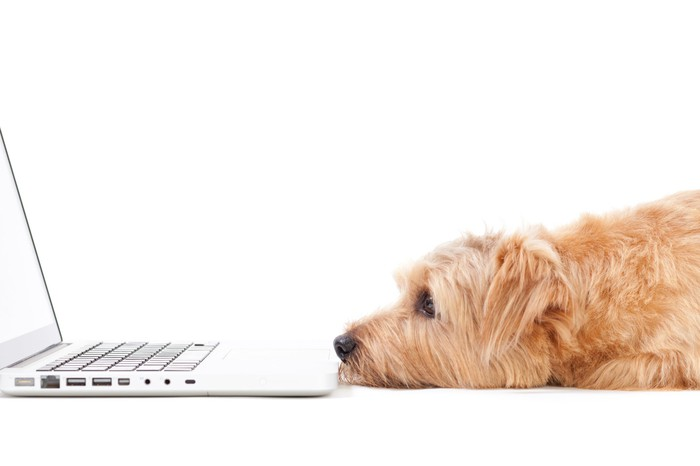 A dog lies flat in front of a laptop computer, staring at the screen.