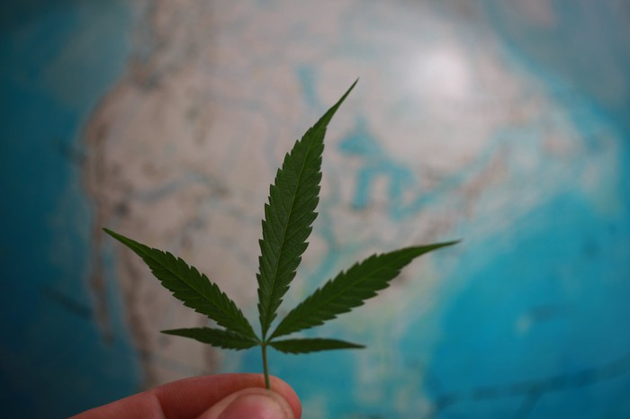 Fingers holding cannabis leaf in front of a globe showing North America