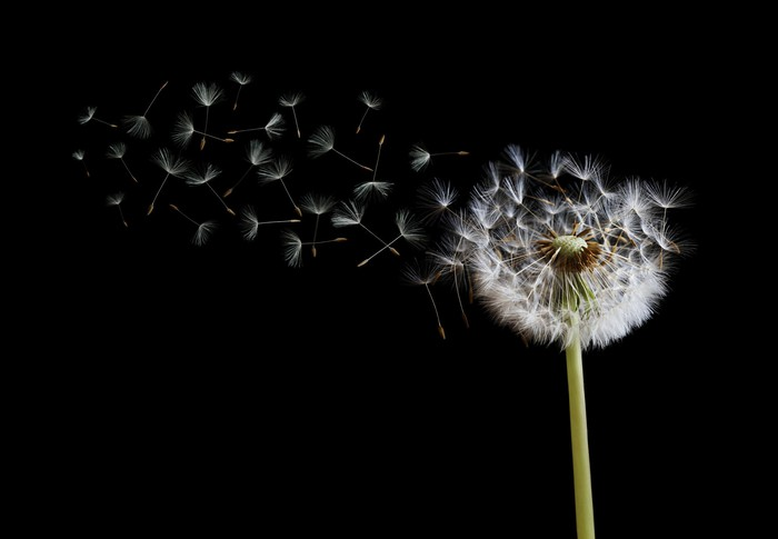 Close-up photo of dandelion seeds blowing away against a black backdrop.