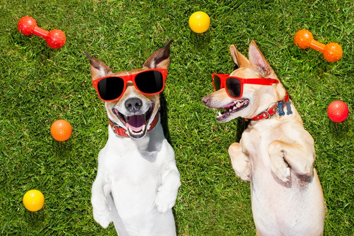 Two dogs in sunglasses laying on their backs in the yard